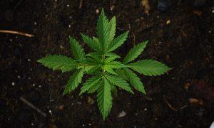 legalizzazione-cannabis